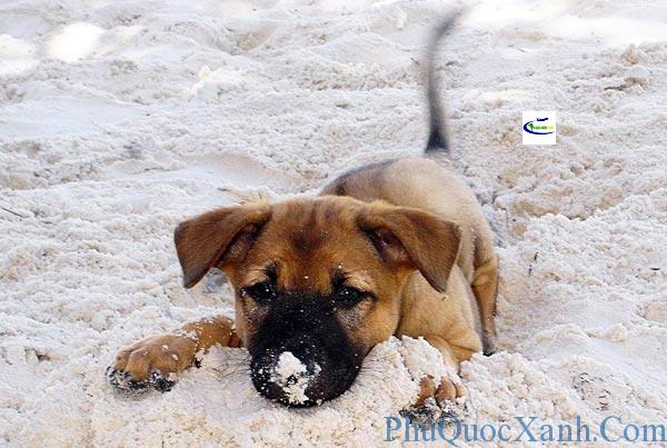 phu-quoc-dog