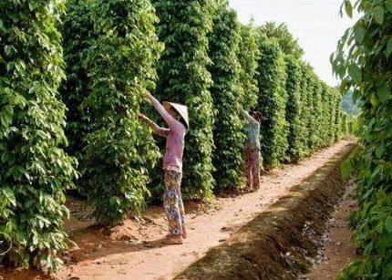 Người dân đang thu hoạch tiêu