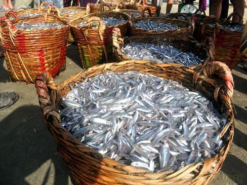 Những cần xé cá cơm tươi roi rói